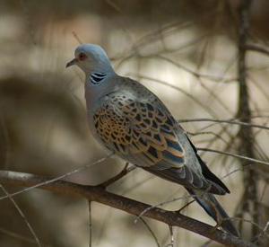 Turtle Dove (Streptopelia turtur) By David King