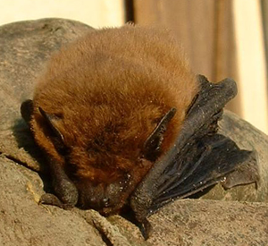 Common Pipistrelle (Pipistrellus pipistrellus) Photo courtesy of Wikimedia Commons