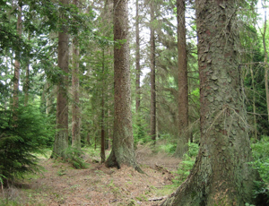 Sitka Spruce (Picea sitchensis) Courtesy of Wikimedia