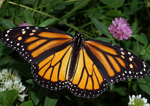 Monarch Butterfly (Danaus plexippus) licensed under Creative Commons